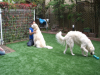 東京都三鷹市 Y様邸にドッグラン用として人工芝を設置しました